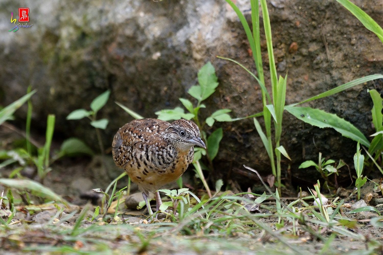 Barred_Buttonquail_0456