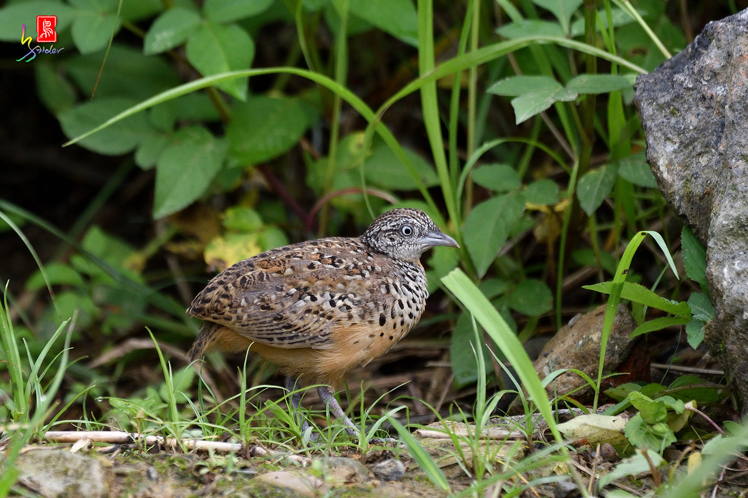 Barred_Buttonquail_0425