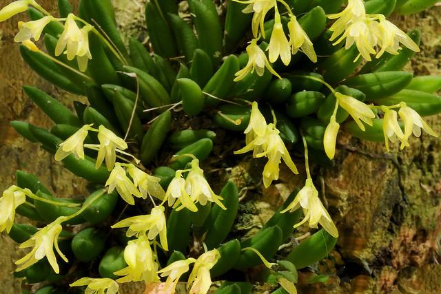 Acianthera leptotifolia