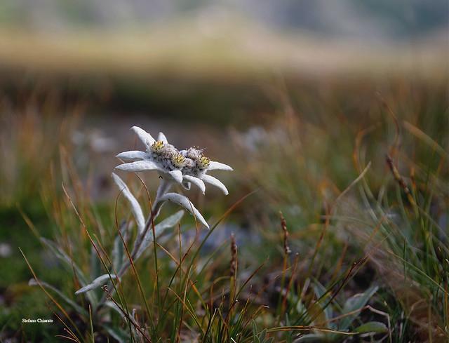 Le Alpi in un fiore.