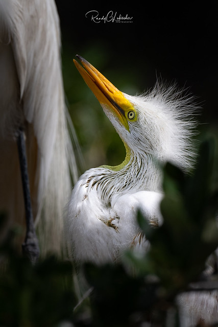 Great Egret - Ardea alba | 2019 - 3