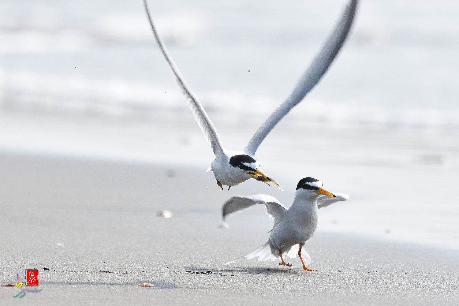 Little_Tern_4231