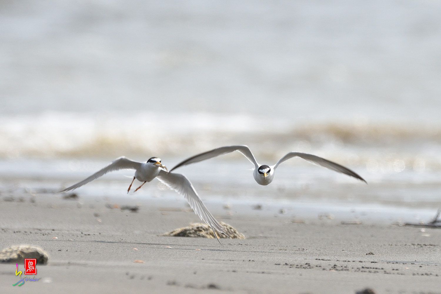 Little_Tern_4030