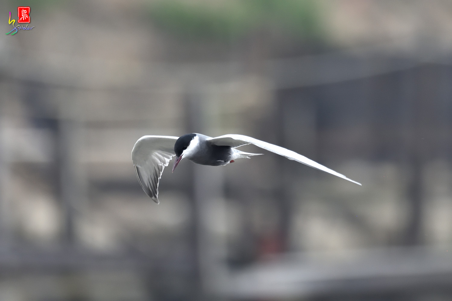 Whiskered_Tern_6119