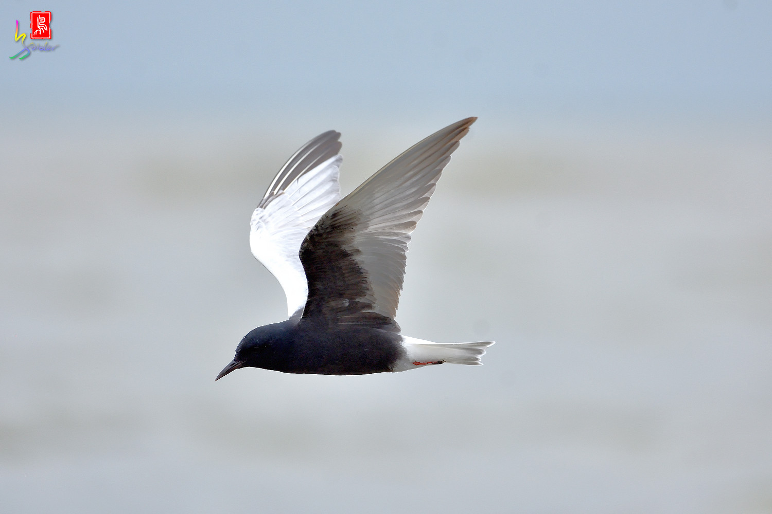 White-winged_Tern_9918