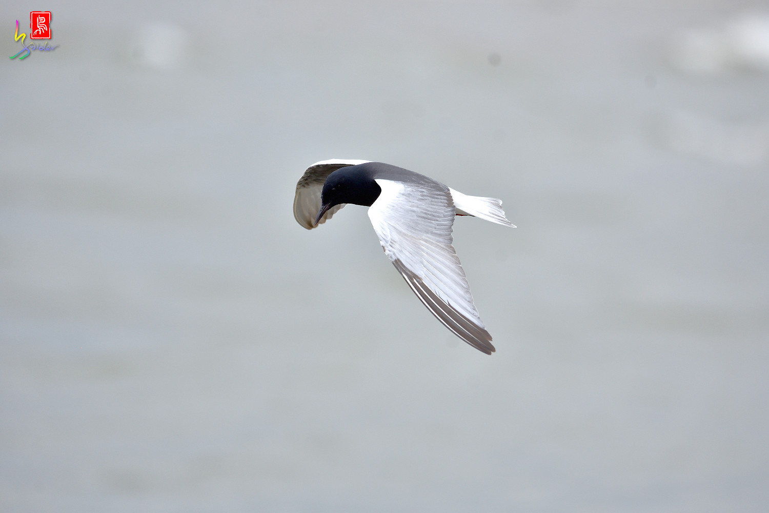 White-winged_Tern_9911