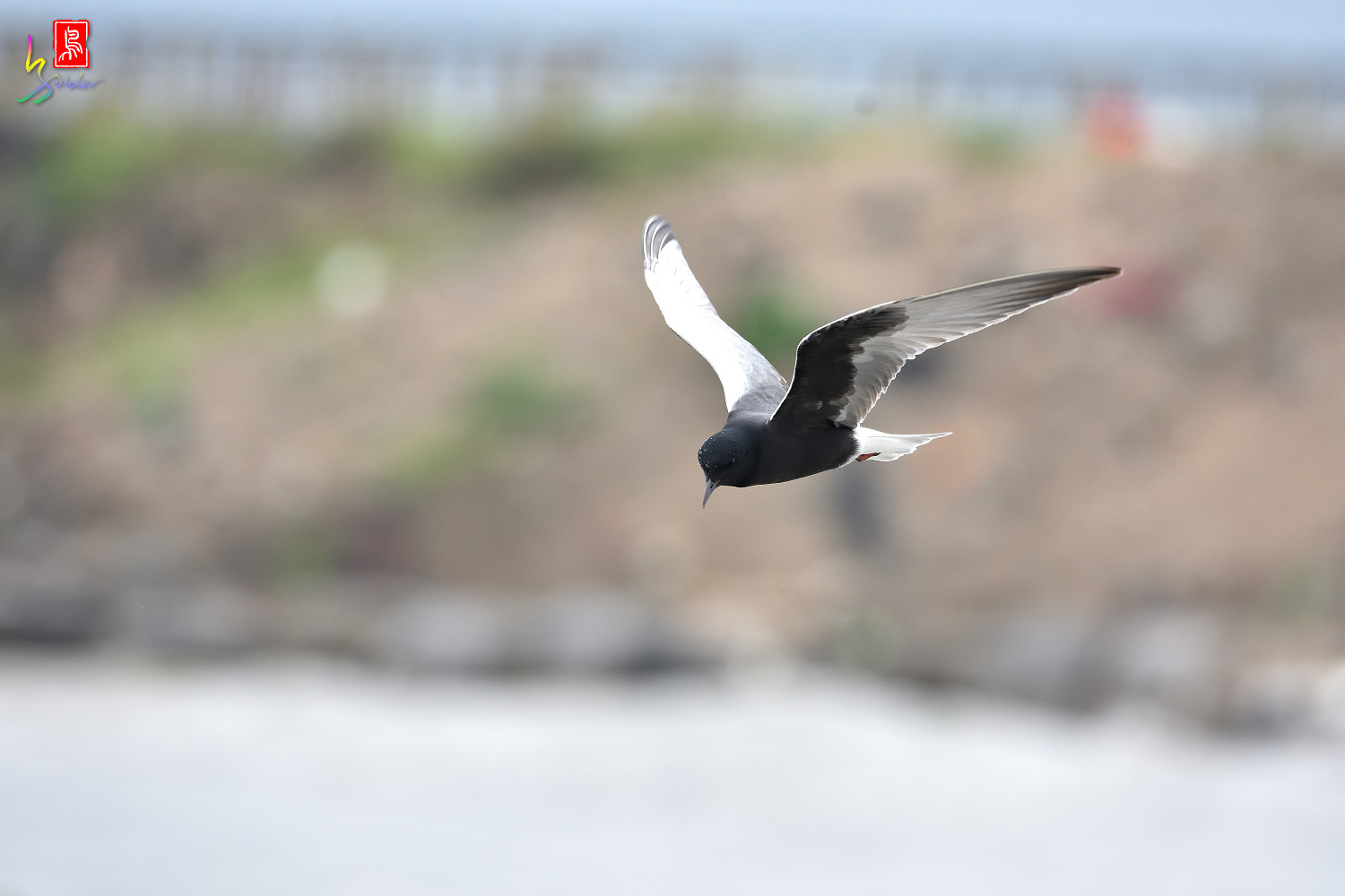 White-winged_Tern_9904