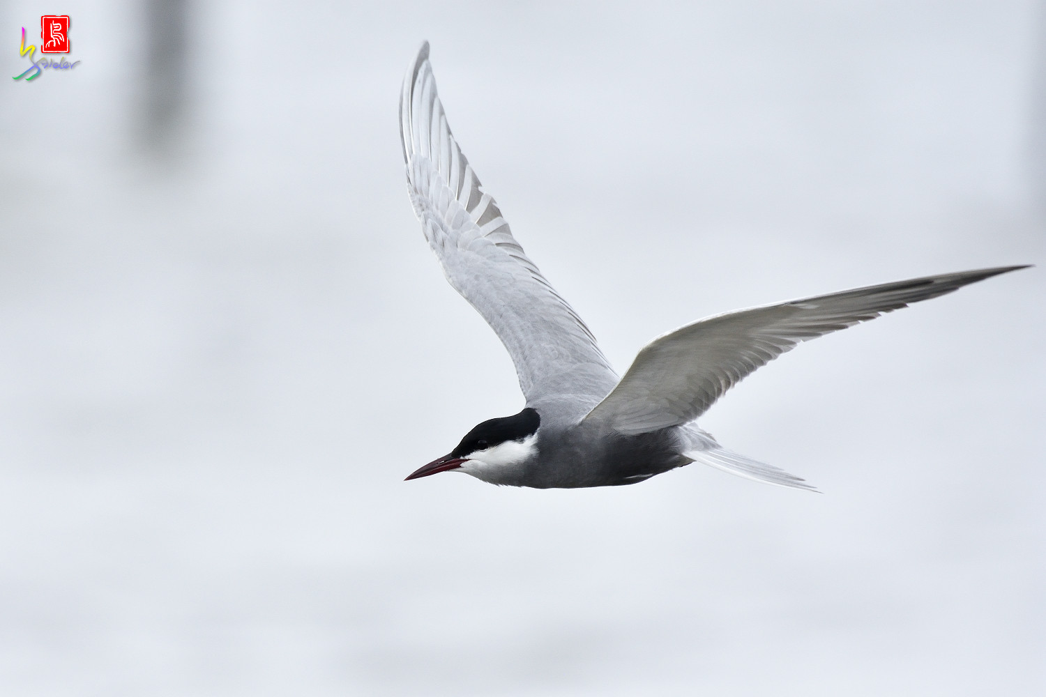 Whiskered_Tern_6103