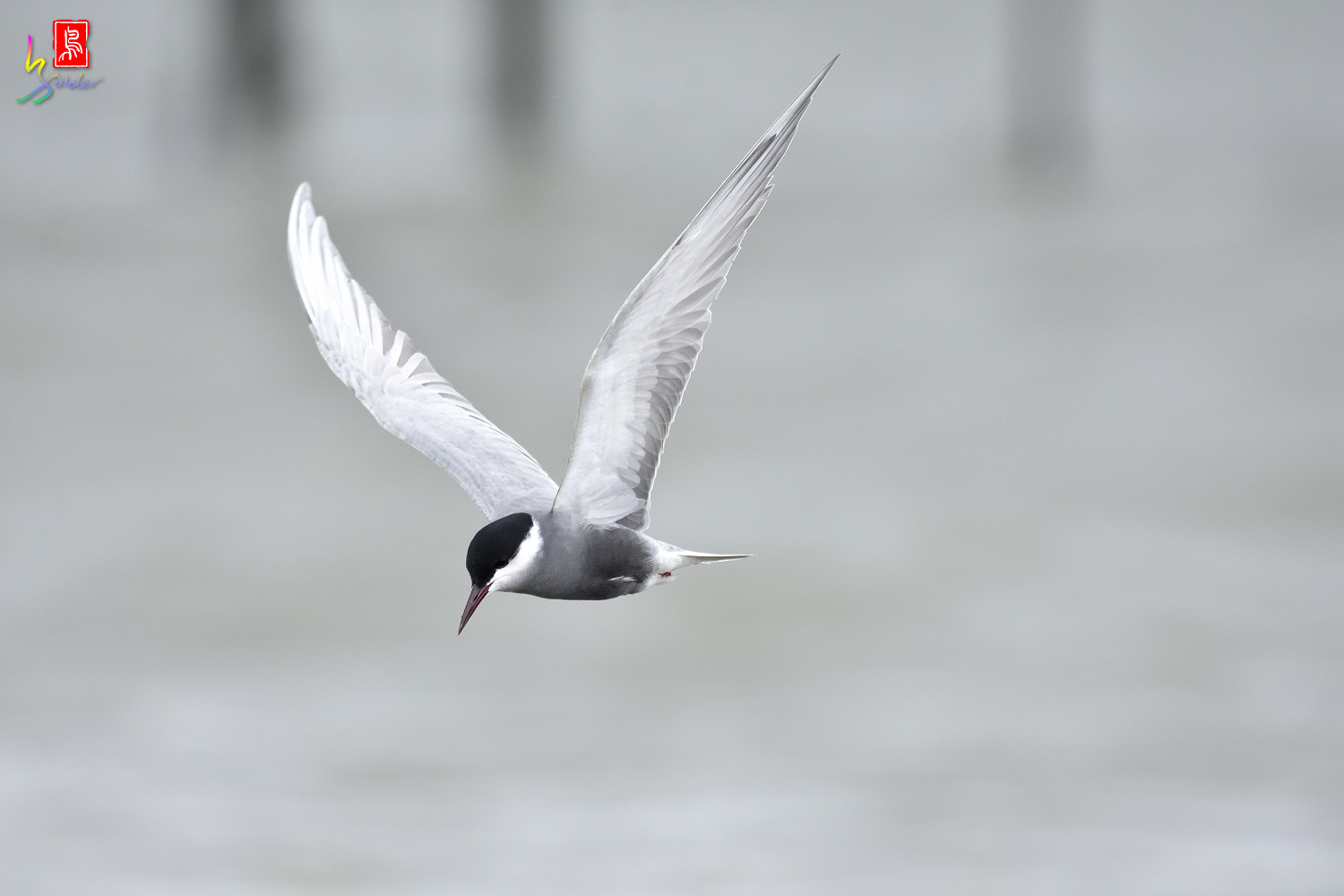 Whiskered_Tern_6024