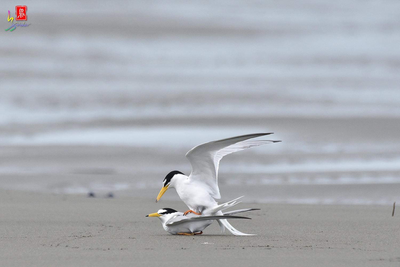 Little_Tern_6578