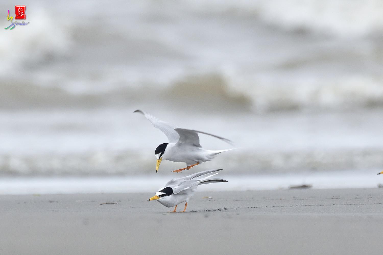 Little_Tern_6448