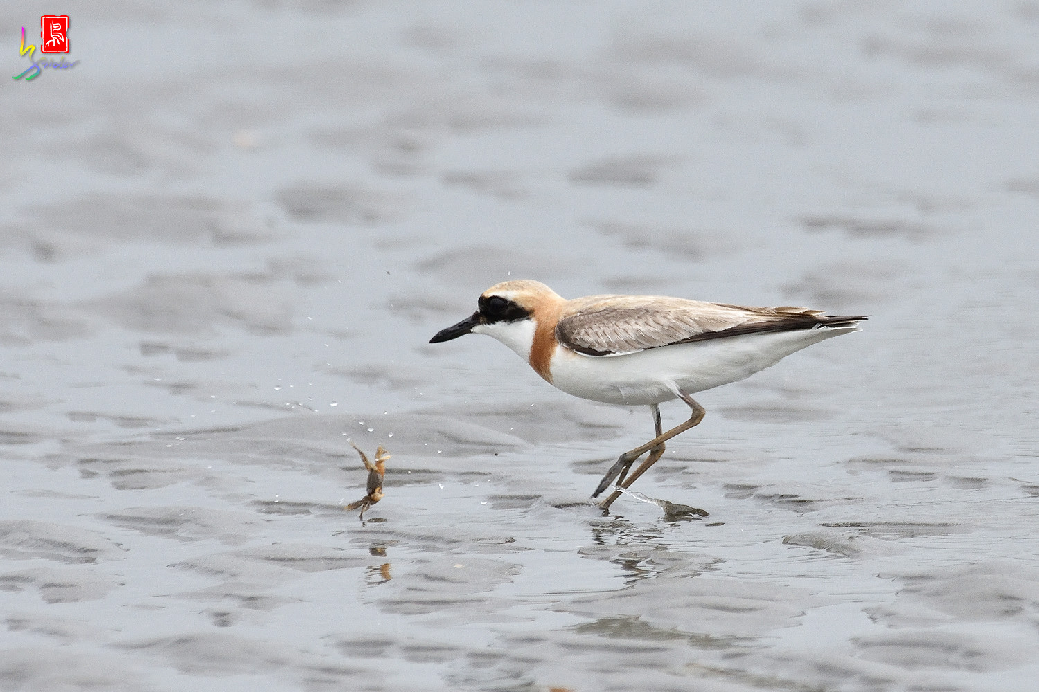 Greater_Sand_Plover_6353