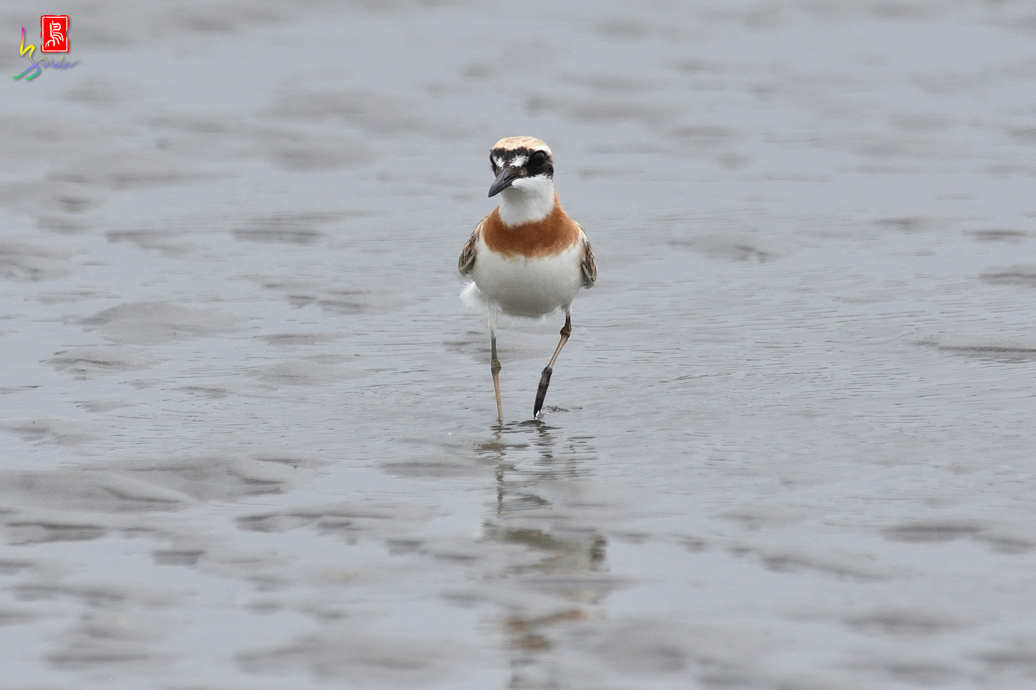 Greater_Sand_Plover_6351