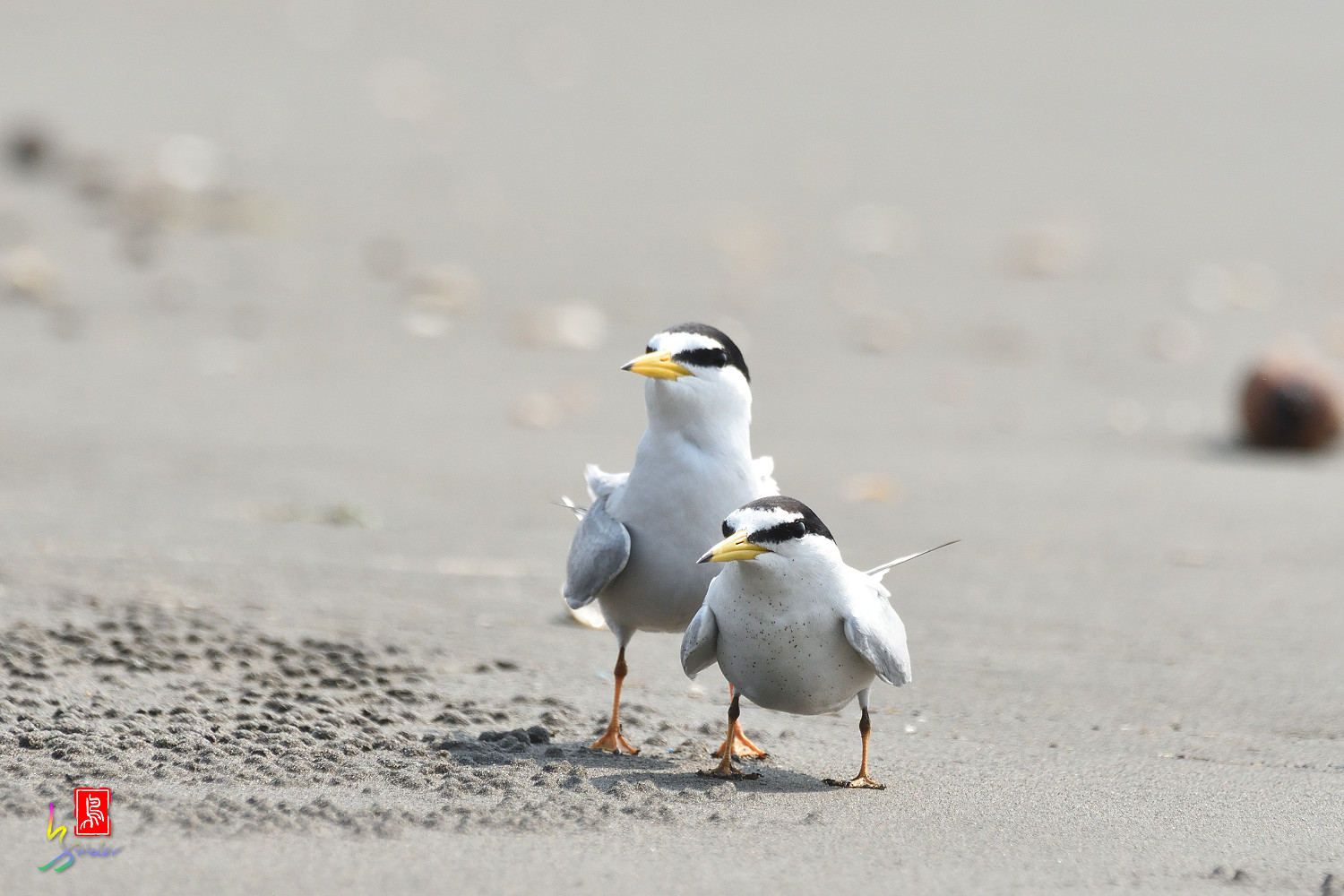 Little_Tern_4209