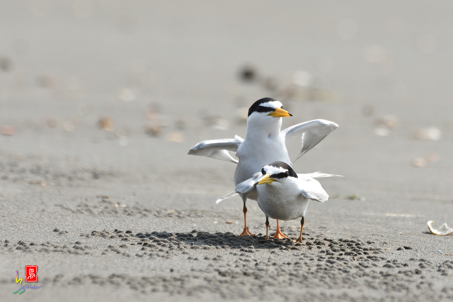 Little_Tern_4203