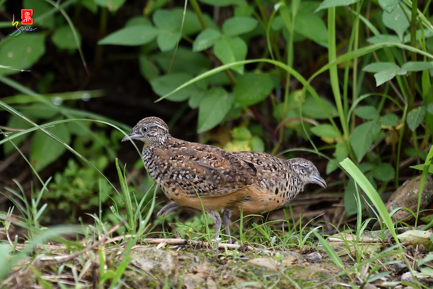 Barred_Buttonquail_0420
