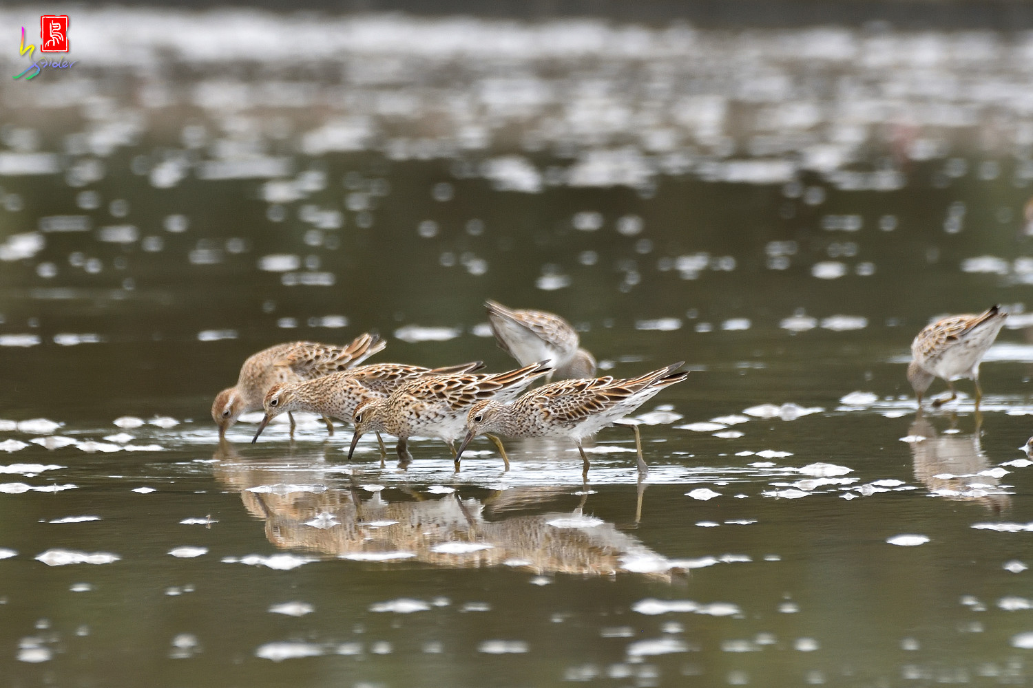 Sharp-tailed_Sandpiper_8097