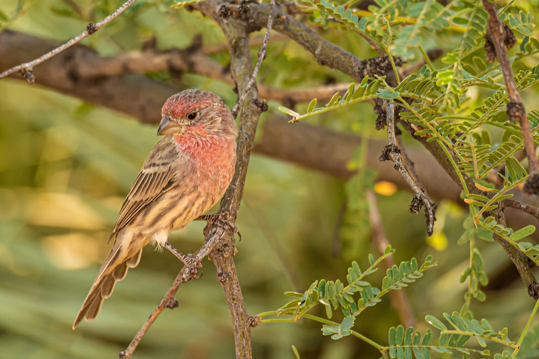 House finch in mesquite