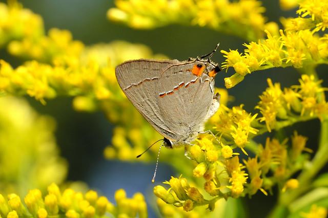 Gray Hairstreak (Strymon melinus) On Goldenrod