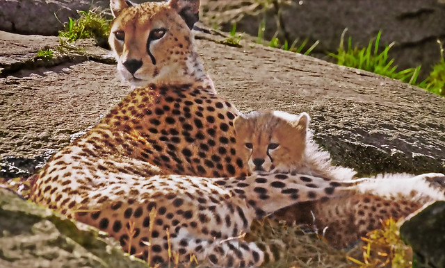 AFRICA  - Serengeti - Cheetah: Mom and Baby