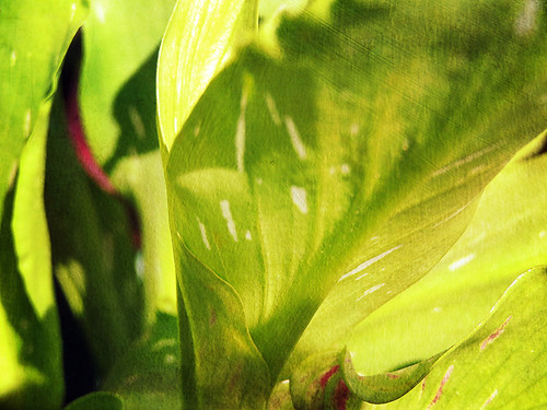 Close-up of the spotted leaves of a burgundy calla lily in the photo app Stackables