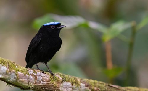 Lepidothrix coronata - Blue-crowned Manakin - Saltarín Coroniazul - Saltarín Coronado male 07