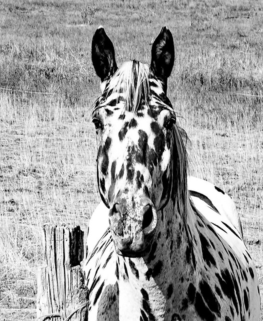 Curiouis Spotted Horse