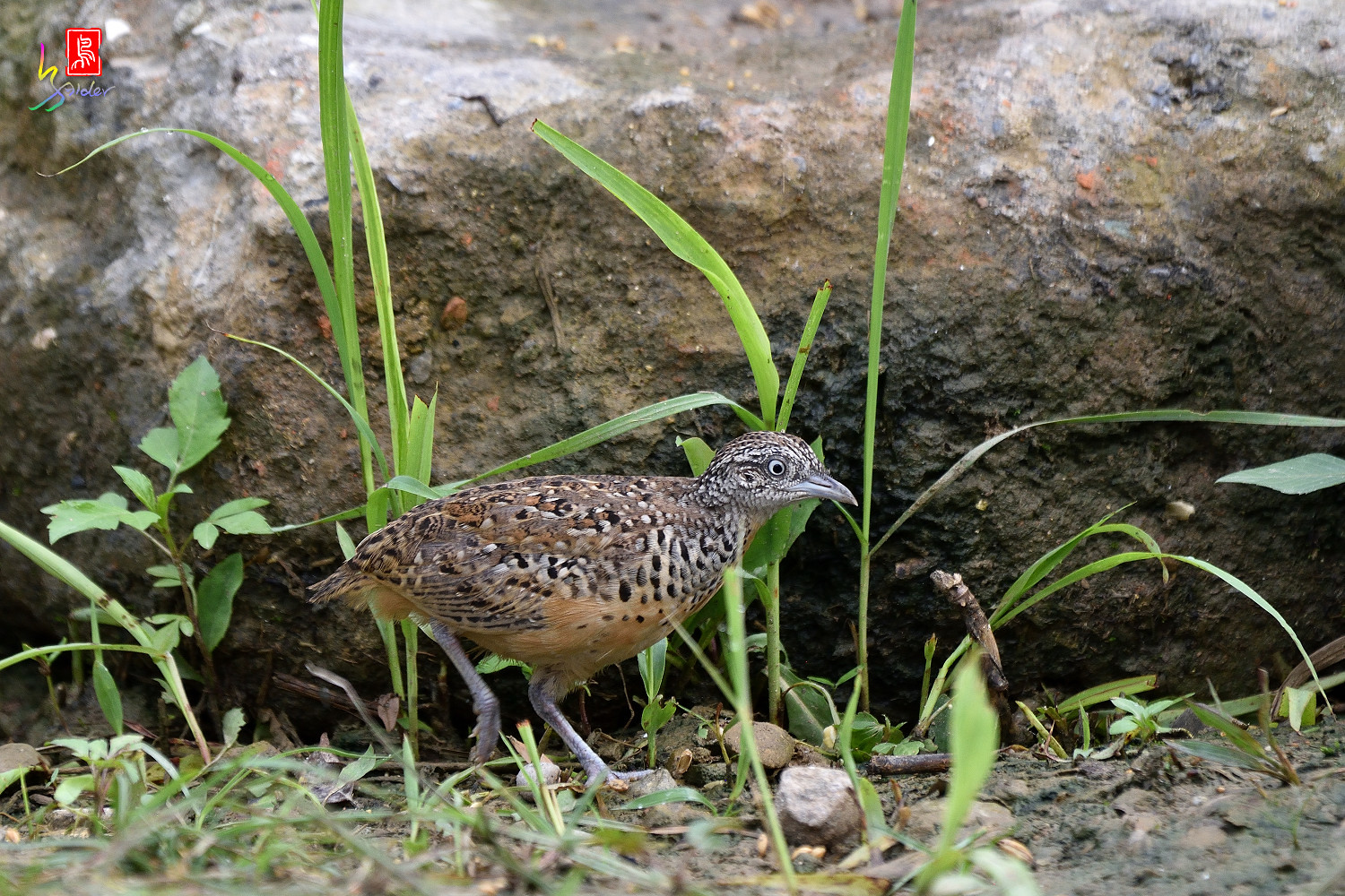 Barred_Buttonquail_0445
