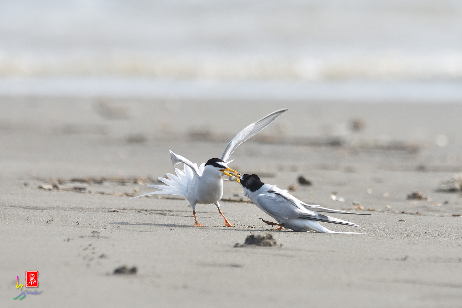 Little_Tern_4244
