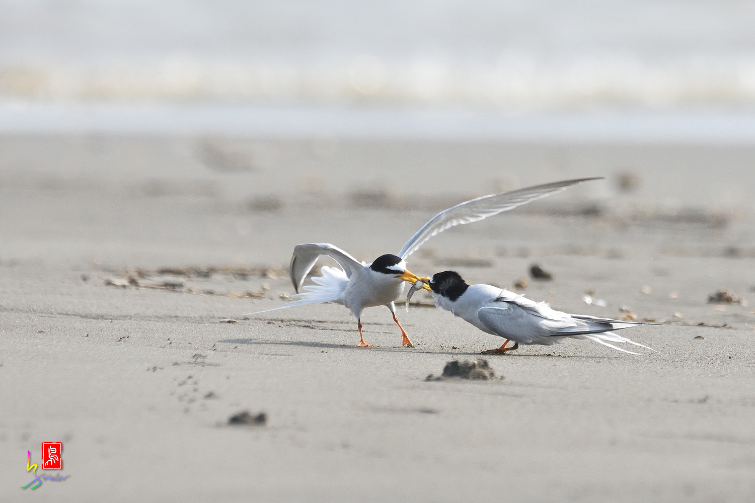 Little_Tern_4243