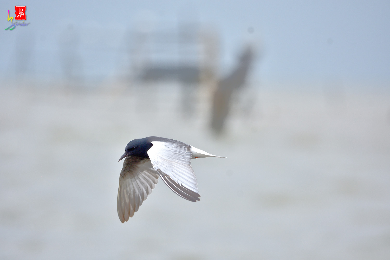 White-winged_Tern_9916