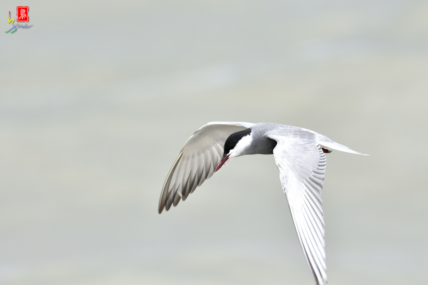 Whiskered_Tern_4469