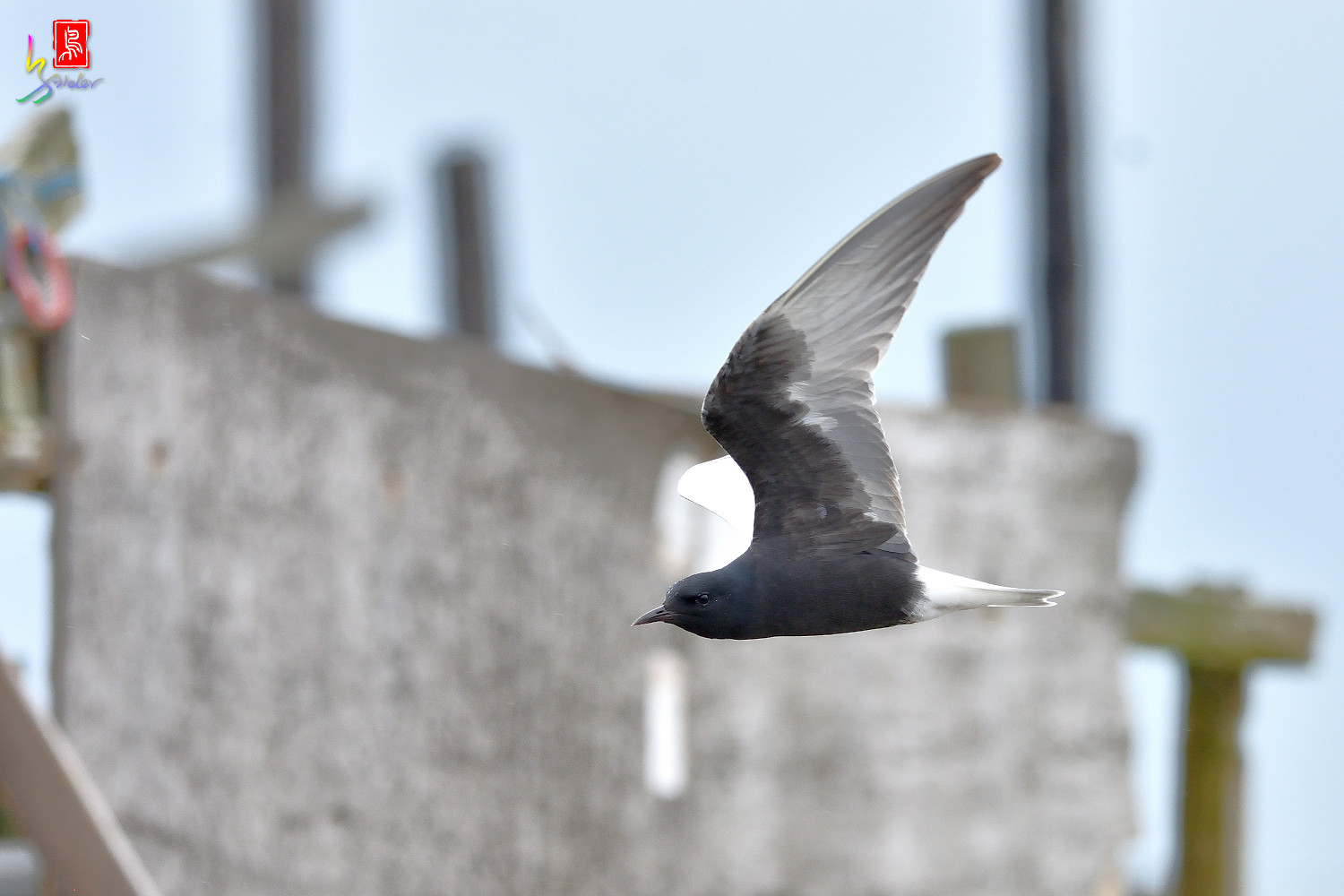 White-winged_Tern_9933