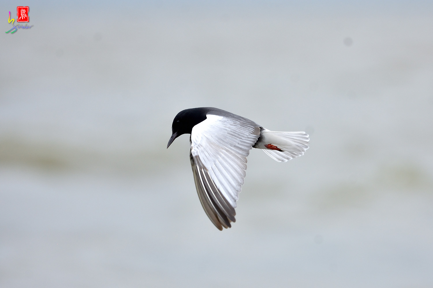 White-winged_Tern_9920