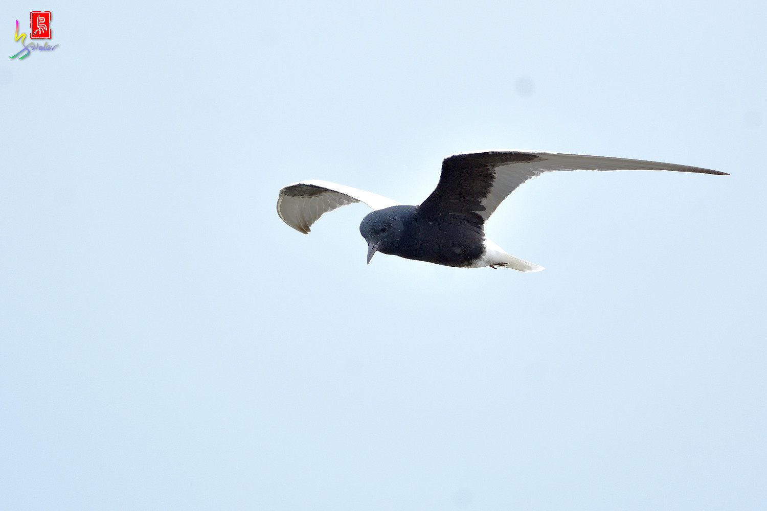 White-winged_Tern_0022