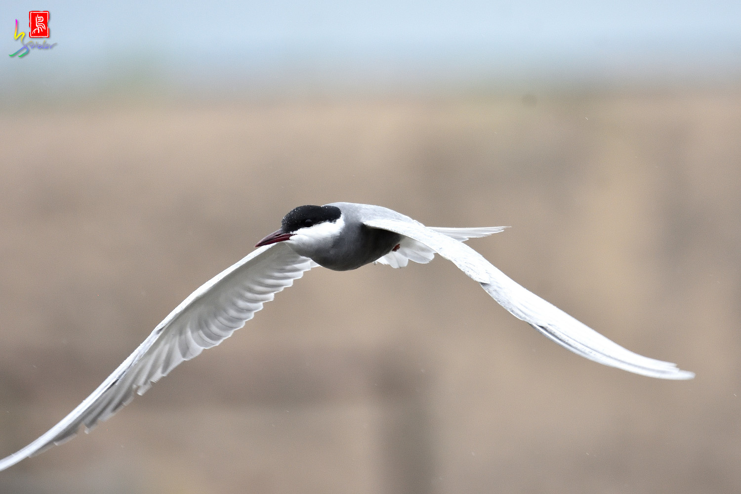Whiskered_Tern_8829