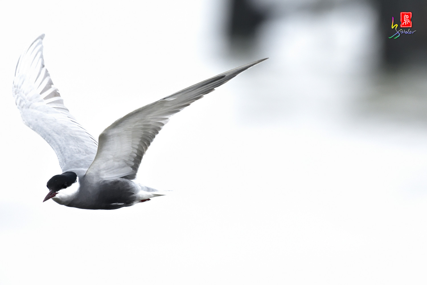 Whiskered_Tern_6121