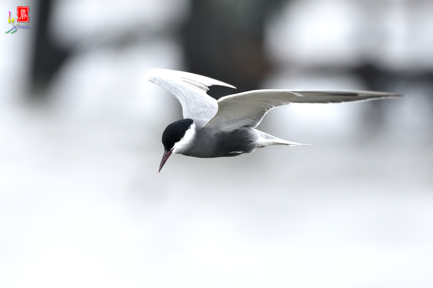 Whiskered_Tern_6120