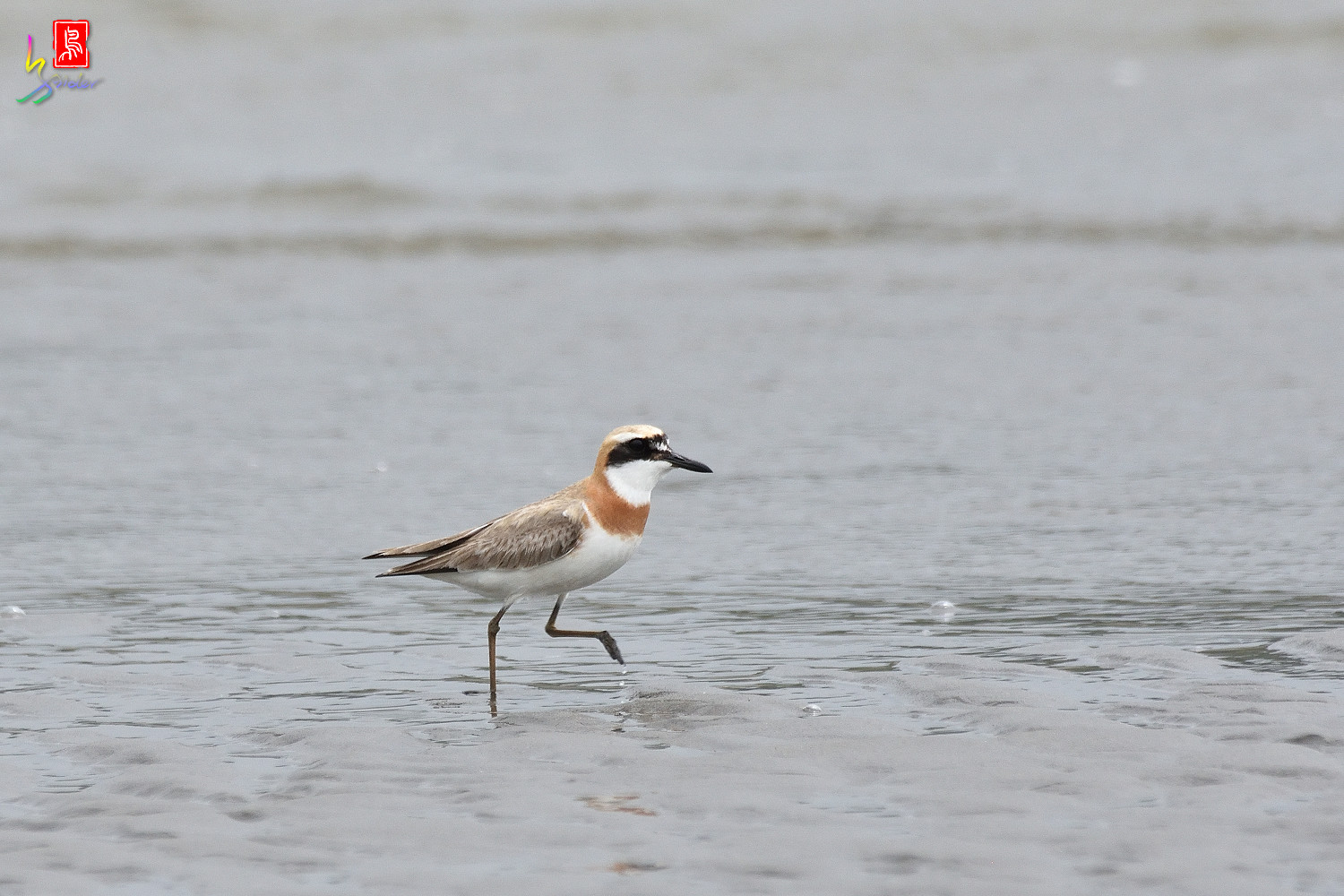 Greater_Sand_Plover_6343
