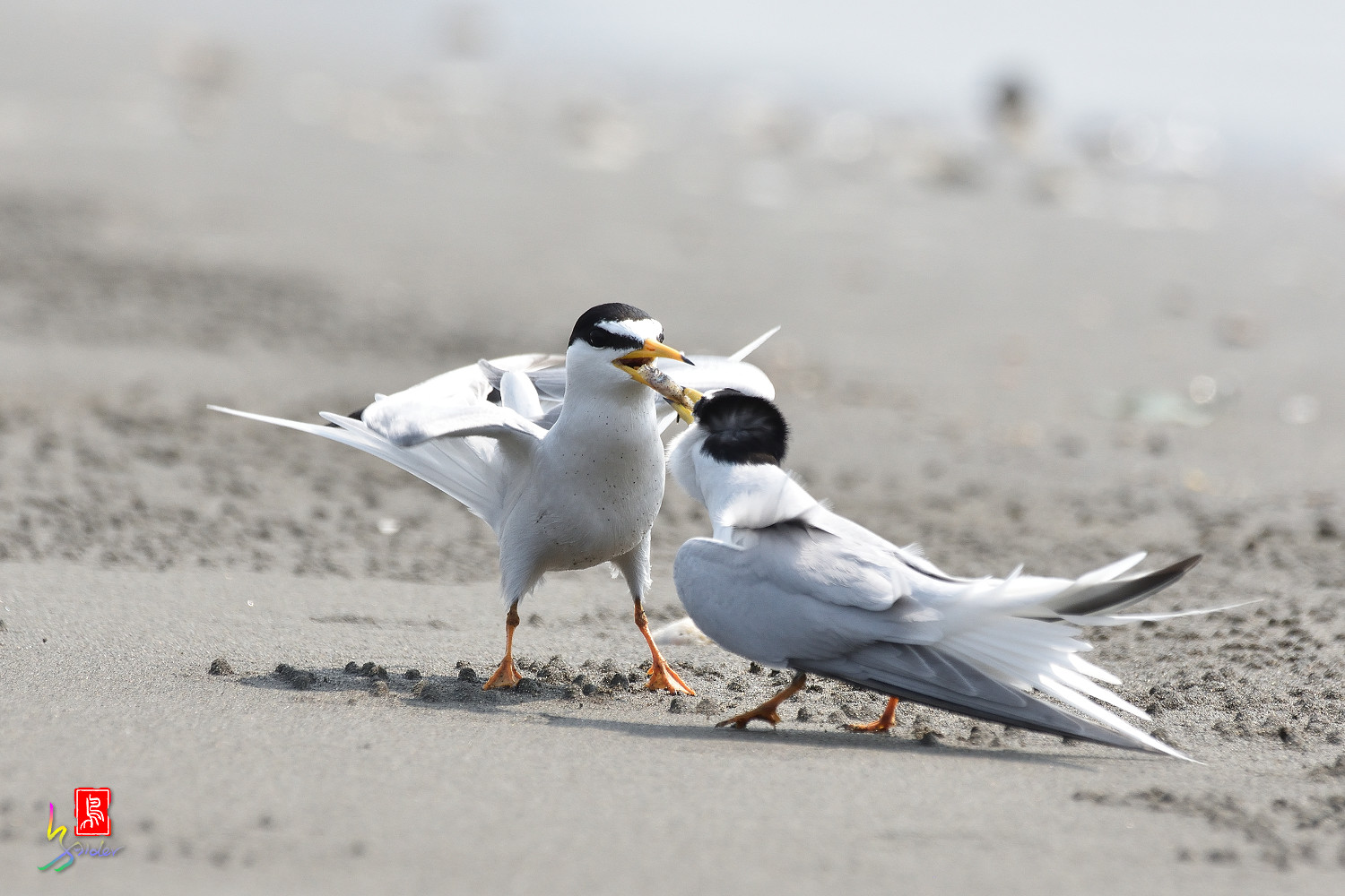 Little_Tern_4046