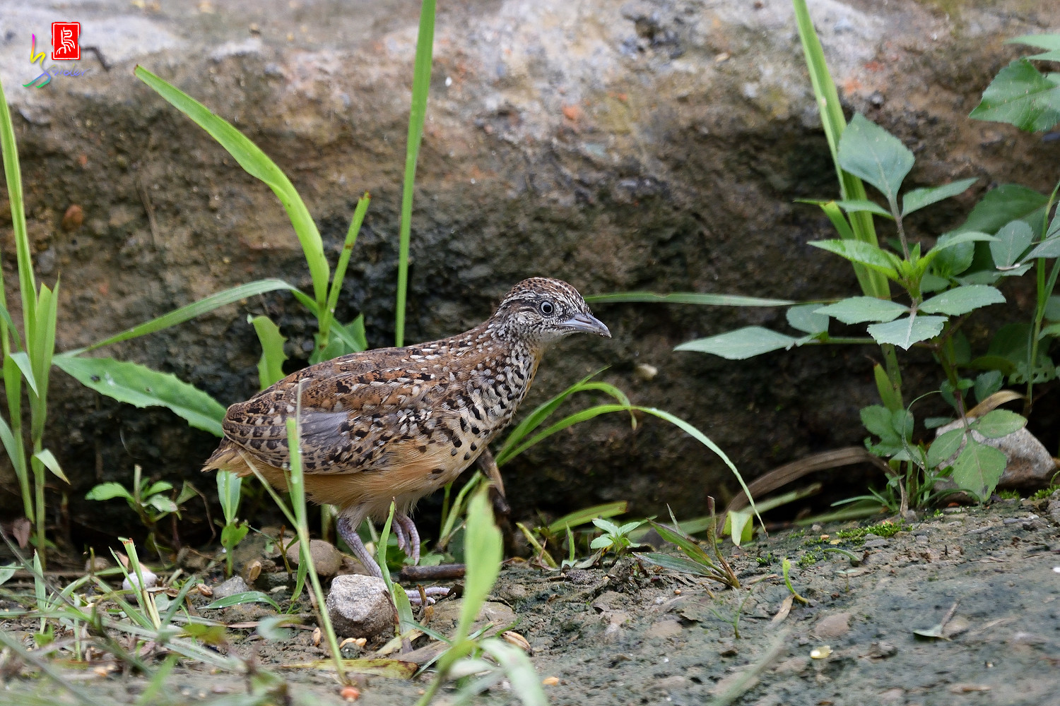 Barred_Buttonquail_0412