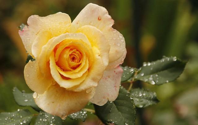 Unser Garten - Rose nach dem Regen.  Wunderschön.