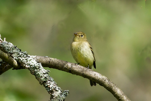 0P7A5428  Yellow-bellied Flycatcher, Canada