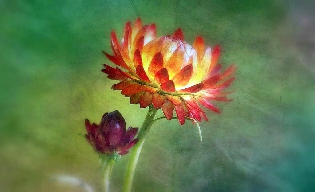 Fleurs de paille