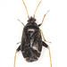 Criocoris crassicornis