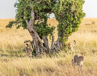 Savannah landscape with five cheetahs