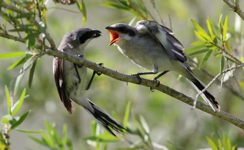 Loggerhead Shrike about to feed it's fledgling!