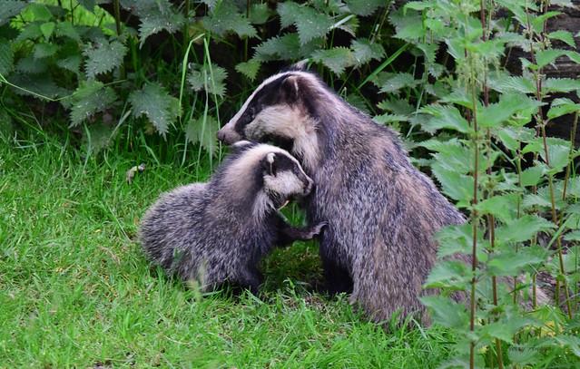 Badger & Cub
