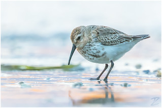 Alpenstrandläufer (Dunlin)