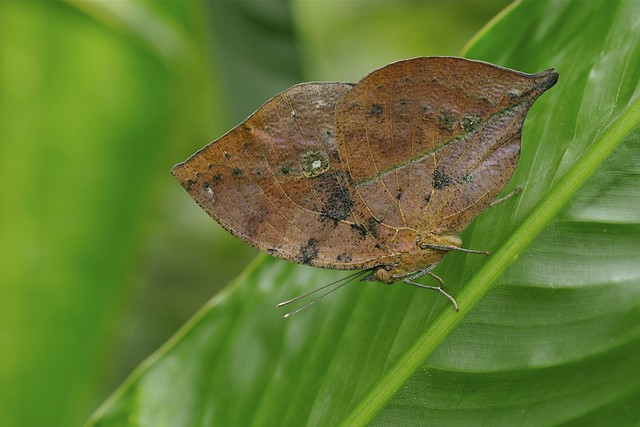 Indian Leaf Butterfly - Kallima inches